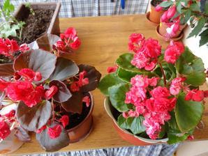 begonie kvitnu cele leto aj jesen:)