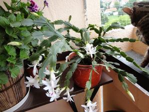 vianočný kaktus sa rozhodol že zakvitne v júli:))