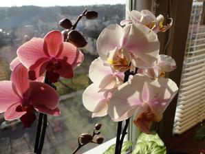 orchidejky..