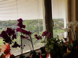 kvitnu orchidejky