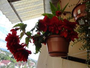 z jedneho korena-begonia