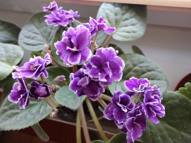 Moja záluba-kvetinky.. - fialka