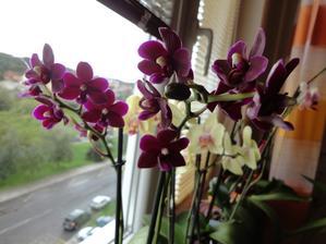 orchidejky