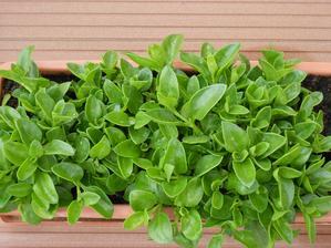 grécky muškát - Aptenia cordifolia