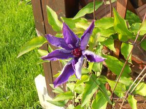 Clematis má prvý kvet