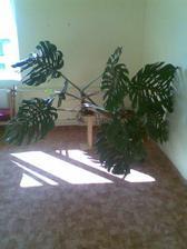 kytka přes půl obýváku