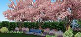 len pre info...kvitnuce sakury sa s echinaceou v reale nestretnu v kvitnuti