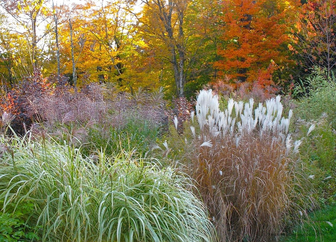 Travy a travicky :) - Miscanthus sinensis, 'Morning Light', 'Variegatus', and Miscanthus 'Purpurascens'