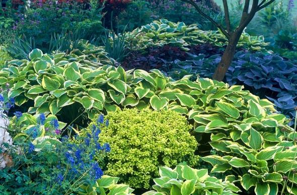 Zahony a rastliny do polotiena,tiena... - Hosta  shade fanfare,Hosta buckshaw blue,japonsky javor
