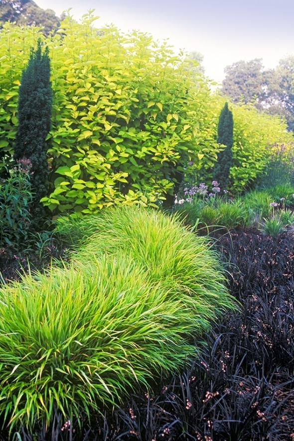 Zahony a rastliny do polotiena,tiena... - Cornus alba Aurea,  Taxus baccata Robusta, Hakonechloa ,  Ophiopogon planiscapus Nigrescens