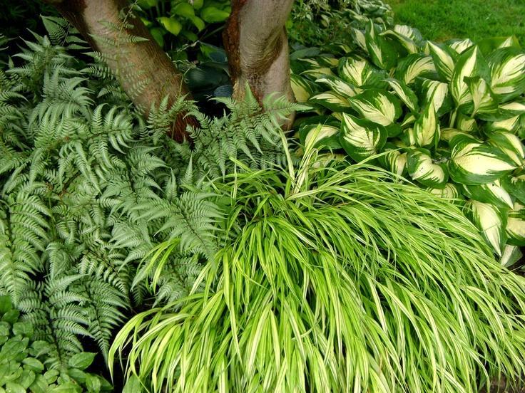 Zahony a rastliny do polotiena,tiena... - Athyrium 'Ghost'/paprad/, Hakonechloa macra 'Aureola' a hosta