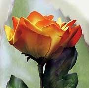 krásná růžička...