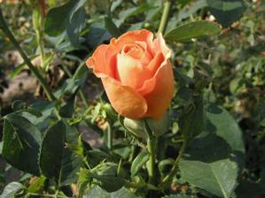 Maminky budou mít oranžovou růži.