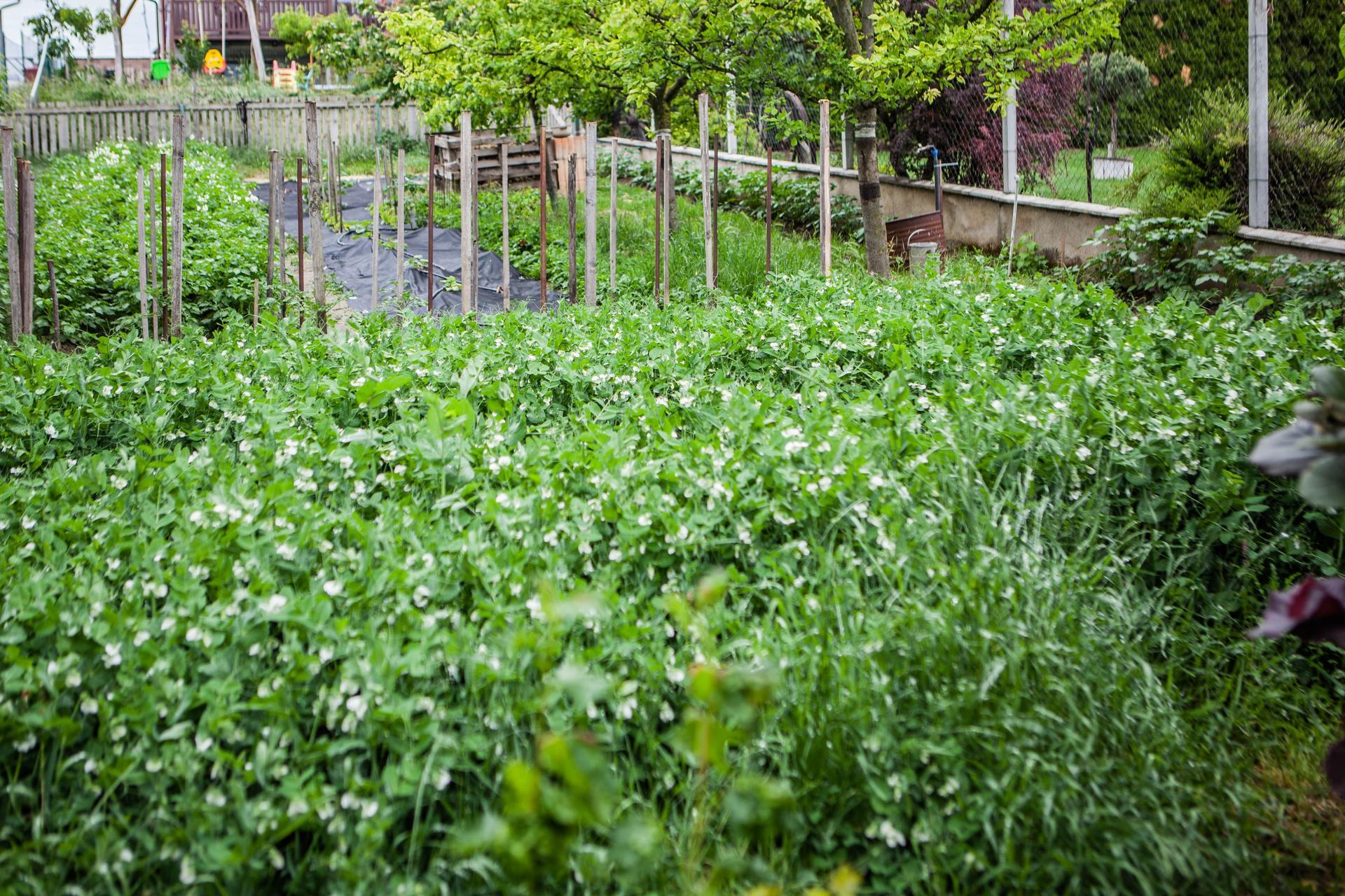 U nas v zahrade v roku 2020 - troska hrasku. bolo z toho vyse 8kg :)