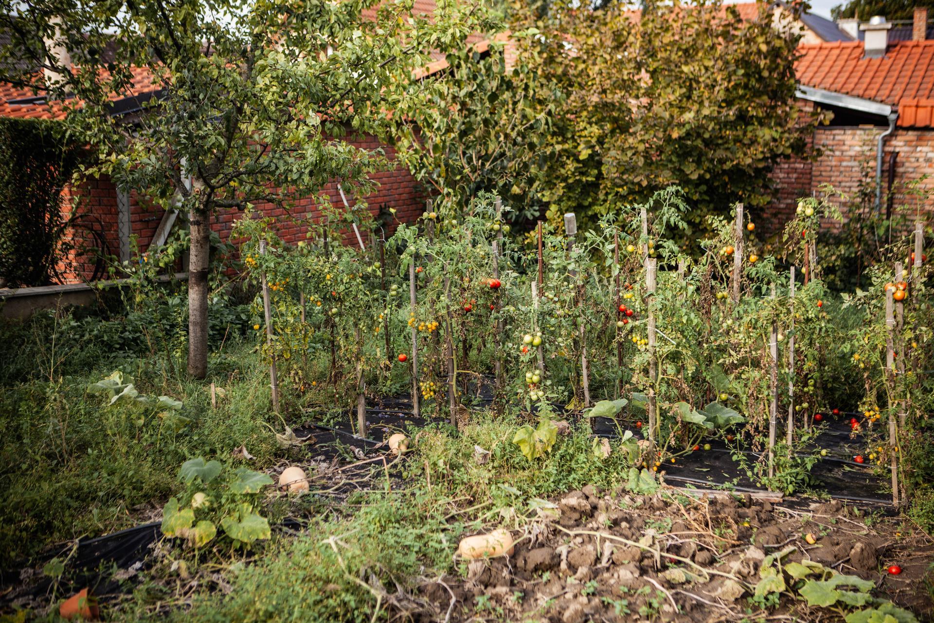 U nas v zahrade v roku 2020 - posledne oktobrove rajcinky