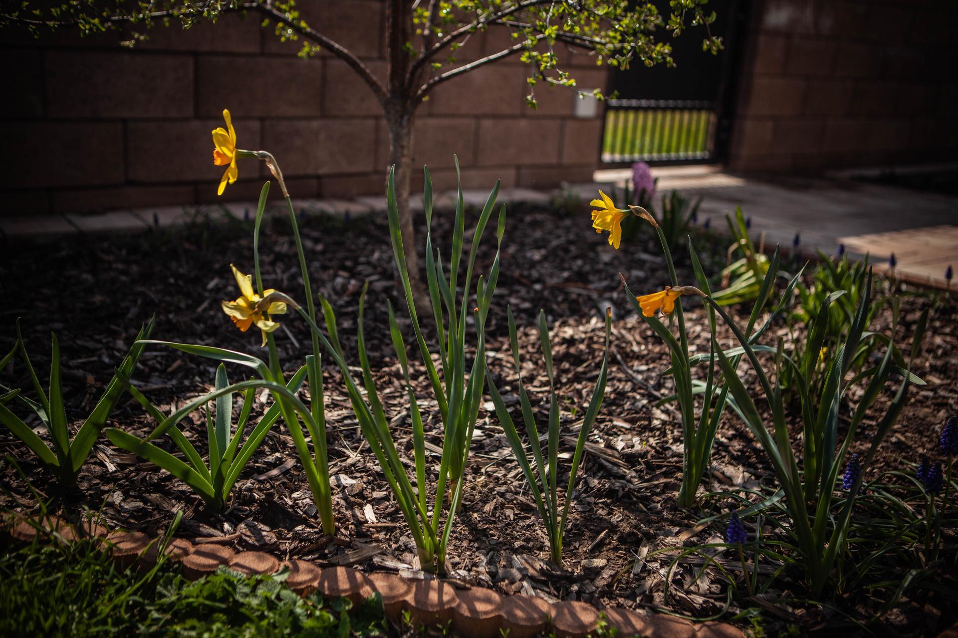 U nas v zahrade v roku 2021 - Narcisy koncia, modrice rastu a o chvilu by mali vykuknut ozdobne cesnaky
