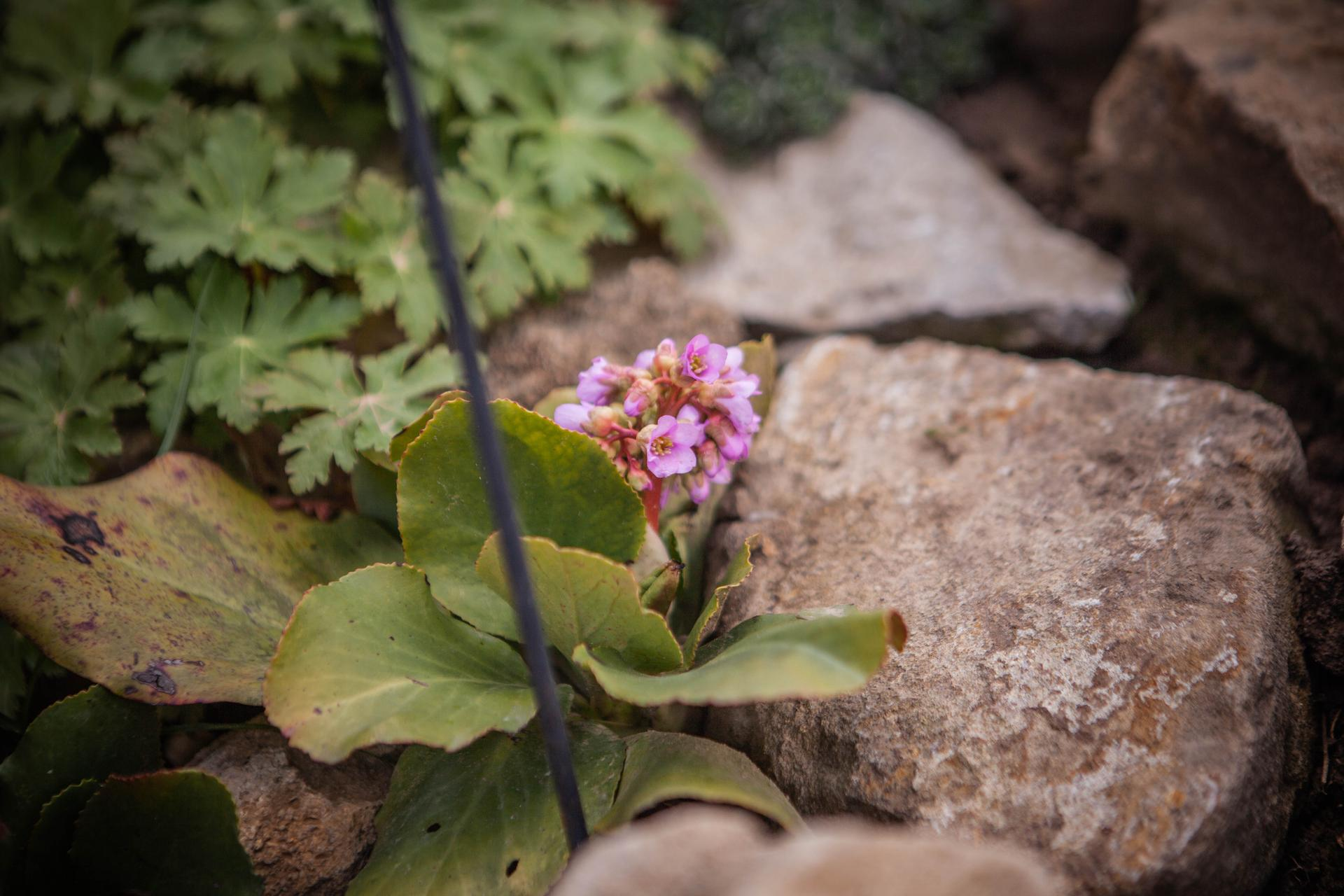 U nas v zahrade v roku 2021 - skalka sa prebera k zivotu