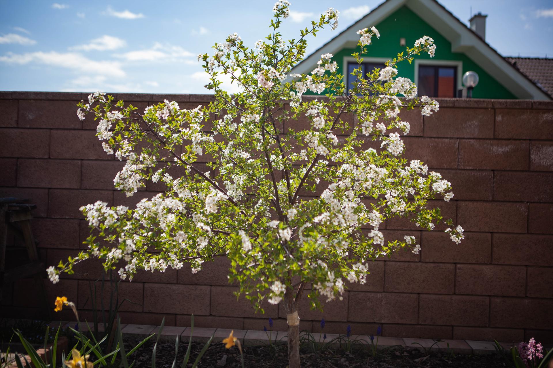 U nas v zahrade v roku 2021 - kríková višňa v plnom kvete