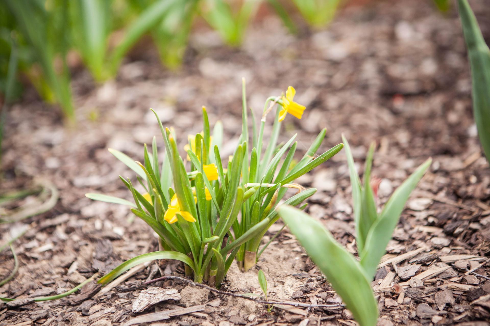 U nas v zahrade v roku 2021 - máj - mininarcisy este len teraz zakvitli