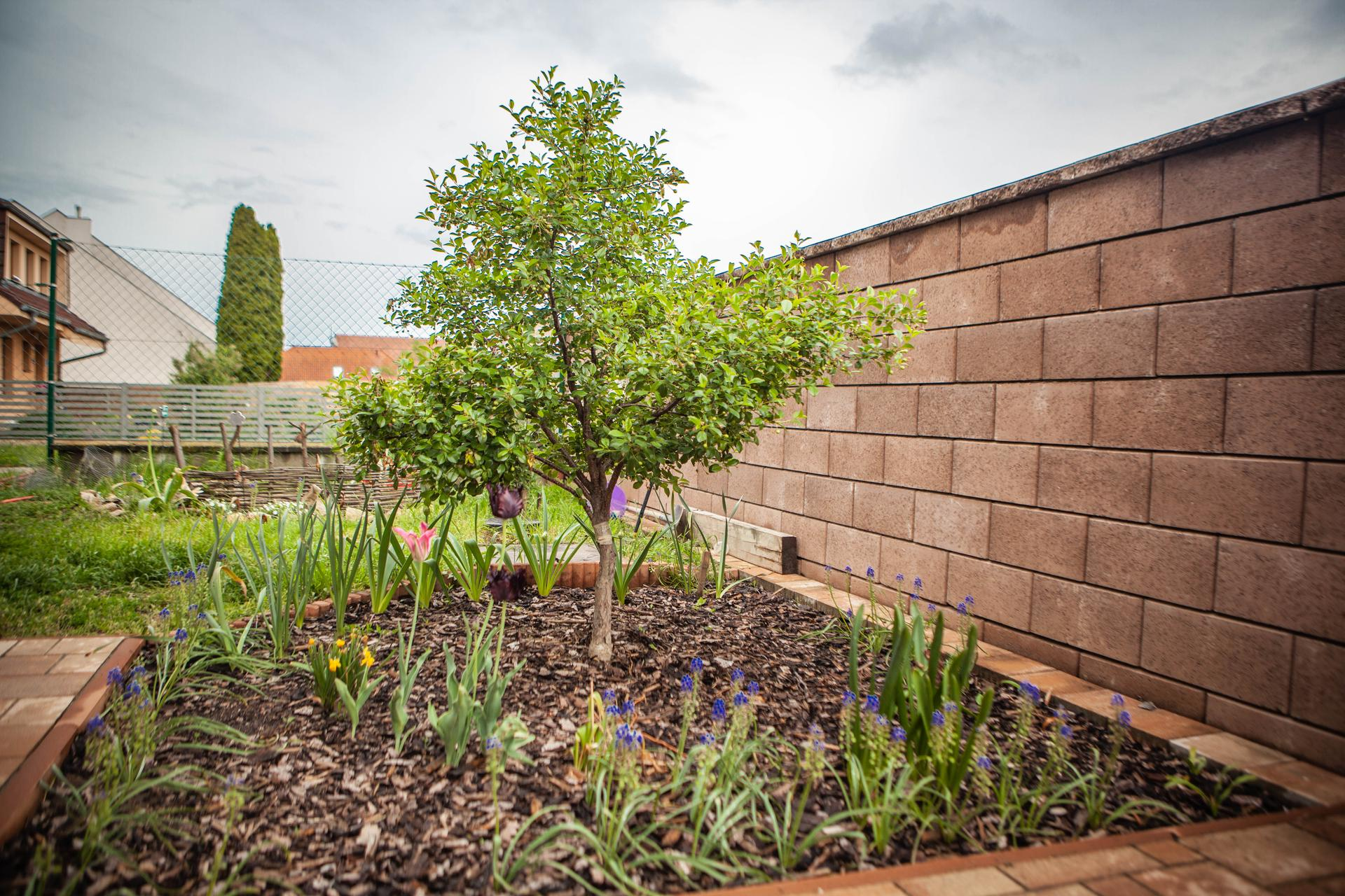 U nas v zahrade v roku 2021 - zahon pod visnou, na jesen doplnim o cibulky cesnakov drum sticks a tulipanov, lebo akosi vsetky nepovychadzali z poslednej jesene