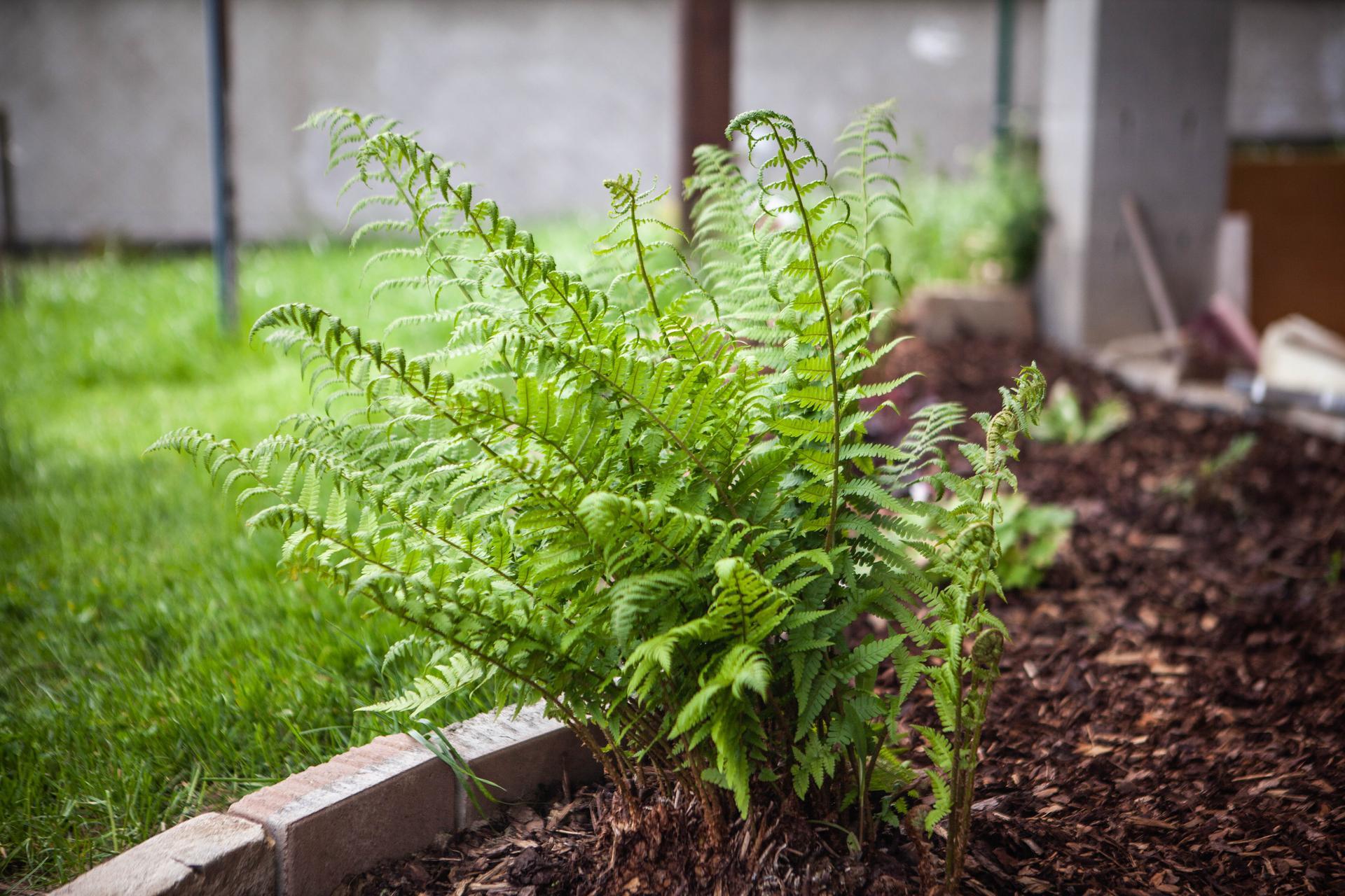 U nas v zahrade v roku 2021 - suseda vykopavala paprad a dala mi taku velku hrudu s korenmi - krasne sa chytila