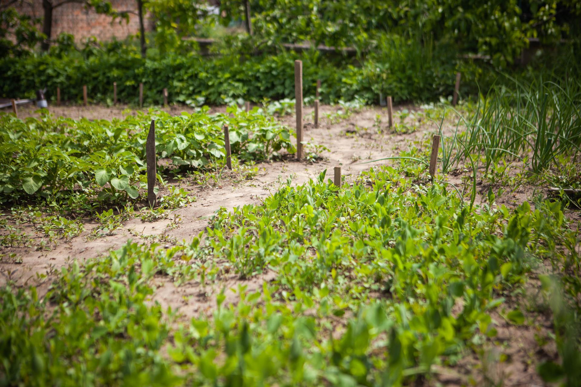 U nas v zahrade v roku 2021 - hrasok, cibula, zemiaky, brokolica, cvikla.... je toho dost :)