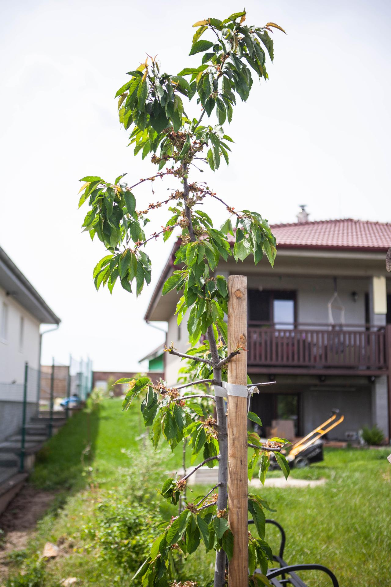 U nas v zahrade v roku 2021 - stlpova ceresna