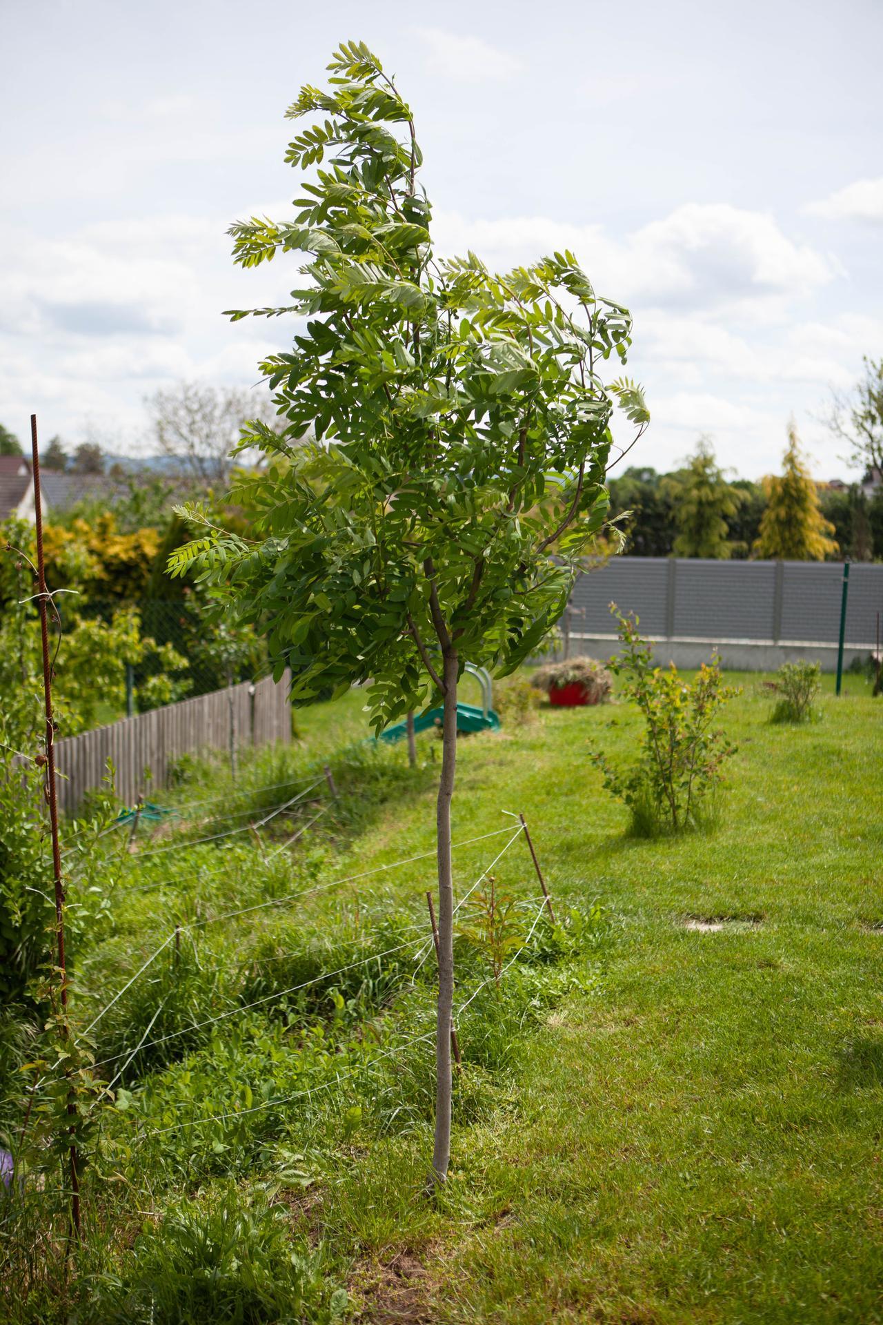 U nas v zahrade v roku 2021 - dcerkin strom, ktory sme zasadili k jej narodeniu - oskorusa