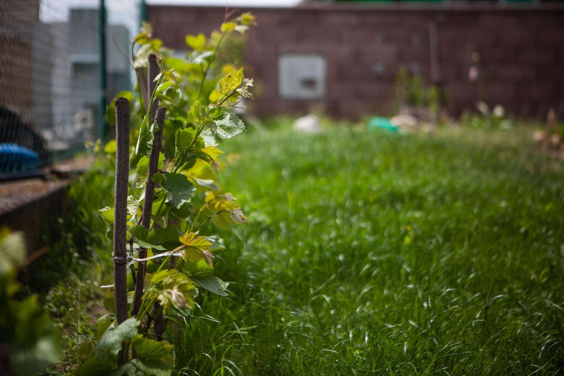 U nas v zahrade v roku 2021 - vinic