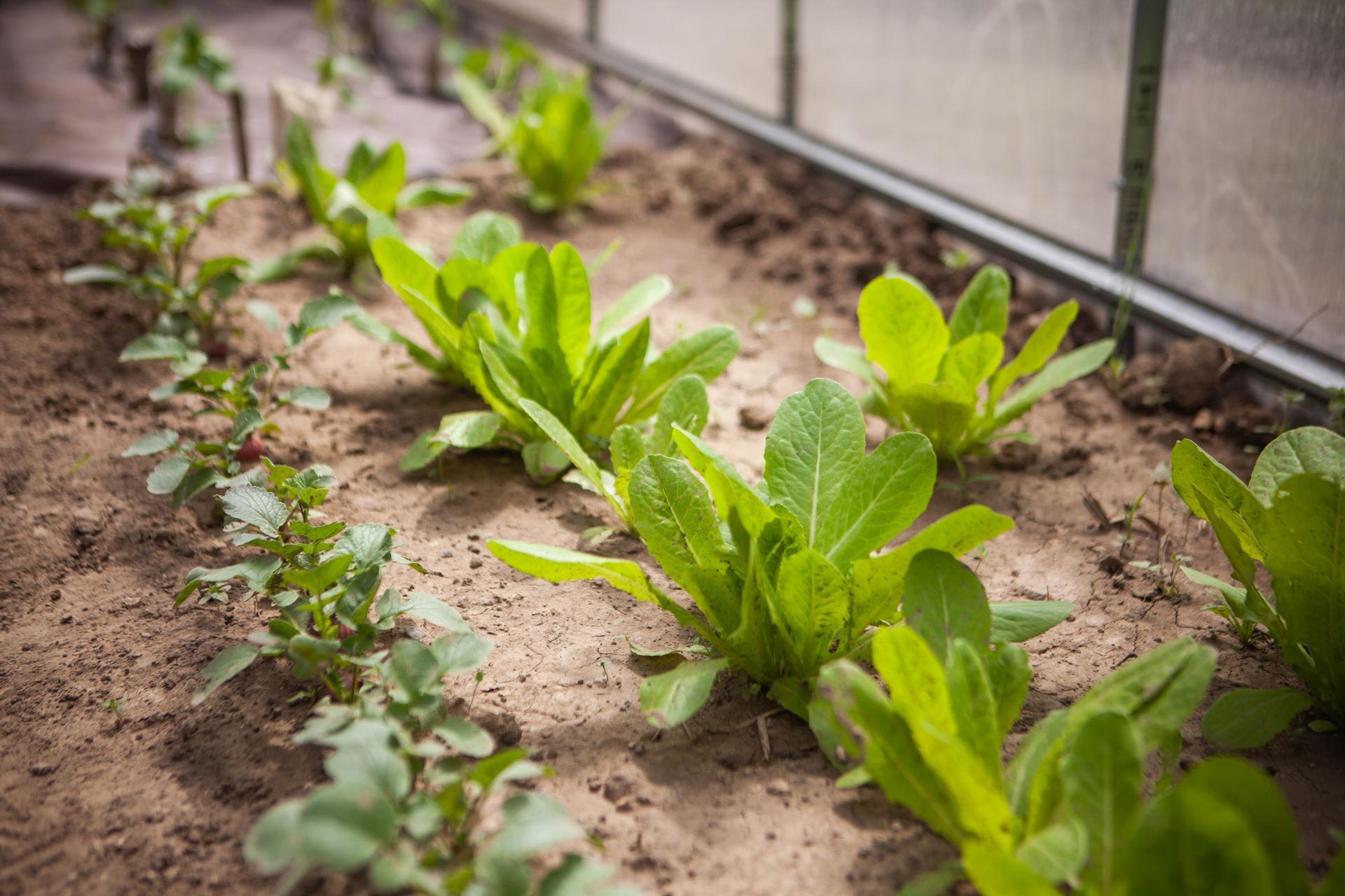 U nas v zahrade v roku 2021 - salat yedikule