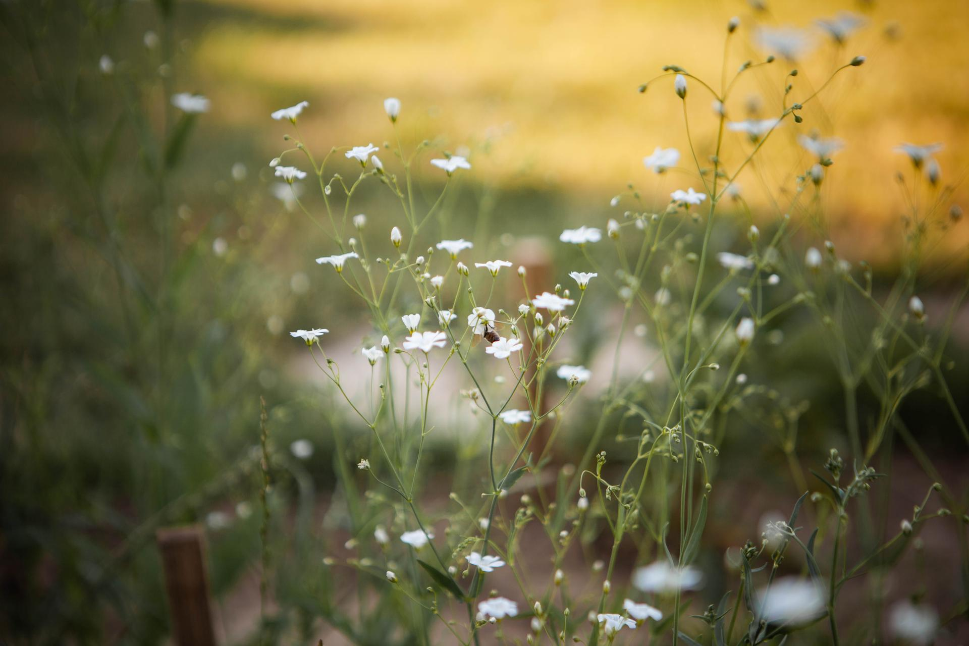 U nas v zahrade v roku 2021 - gypsophila zo semienka