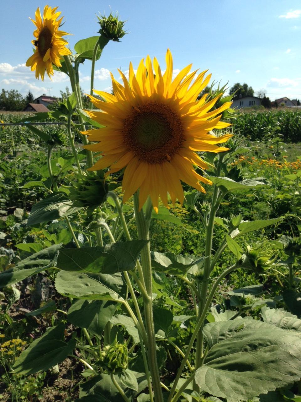@lubicabystrica krásne máš slnečnice.... - Obrázok č. 4