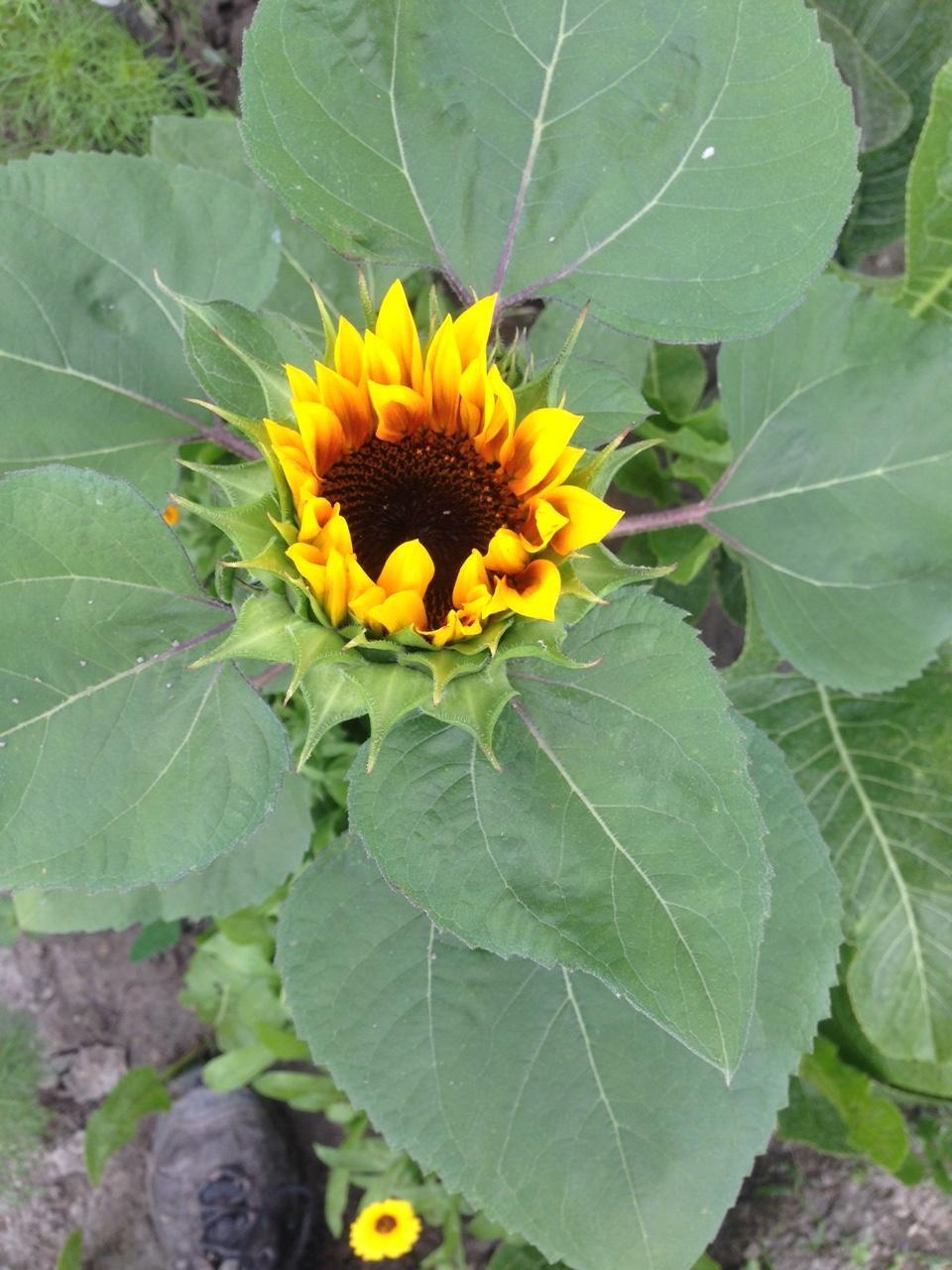 @lubicabystrica krásne máš slnečnice.... - Obrázok č. 1