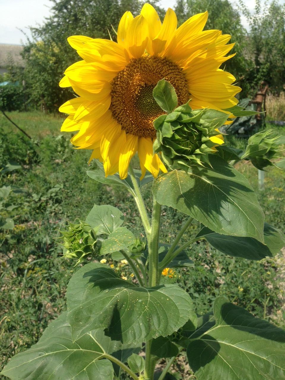 @lubicabystrica krásne máš slnečnice.... - Obrázok č. 2