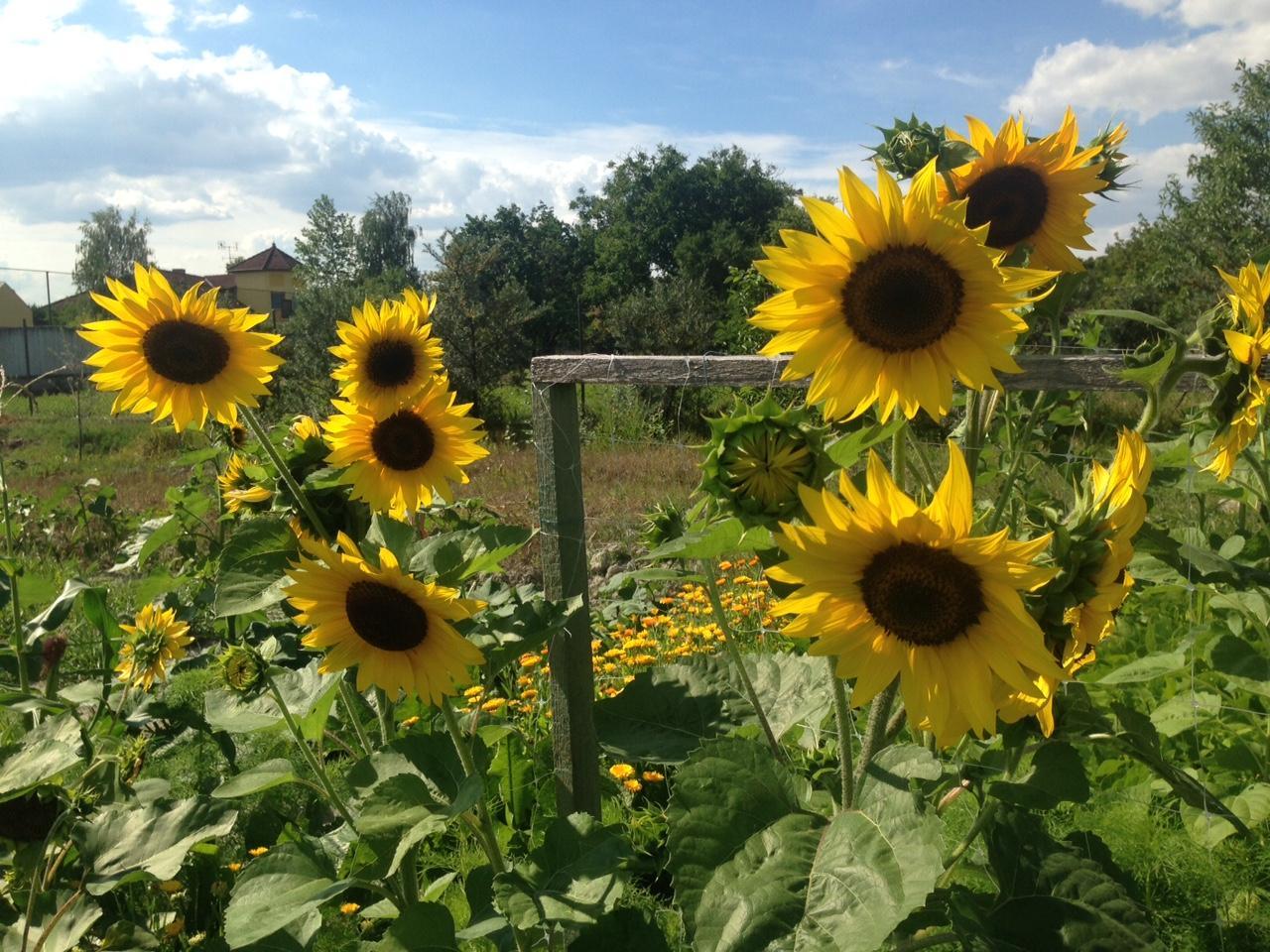 @lubicabystrica krásne máš slnečnice.... - Obrázok č. 3
