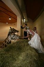 Hned po obřadě jsme krmili žirafy