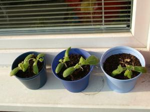 Možná náš budoucí první pěstitelský úspěch :-)