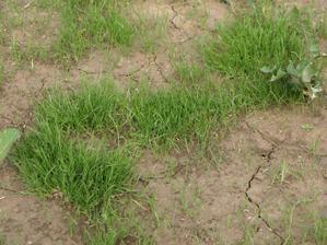 i v jílu se trávníku daří... bohužel jen místy....