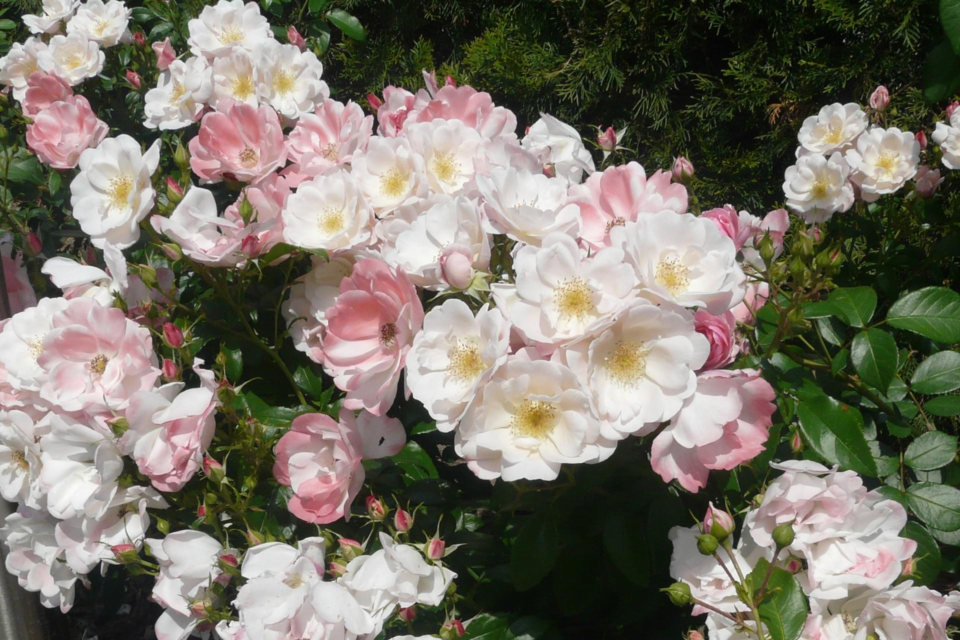Ruže - Kordes ... a iné - Roseromantic