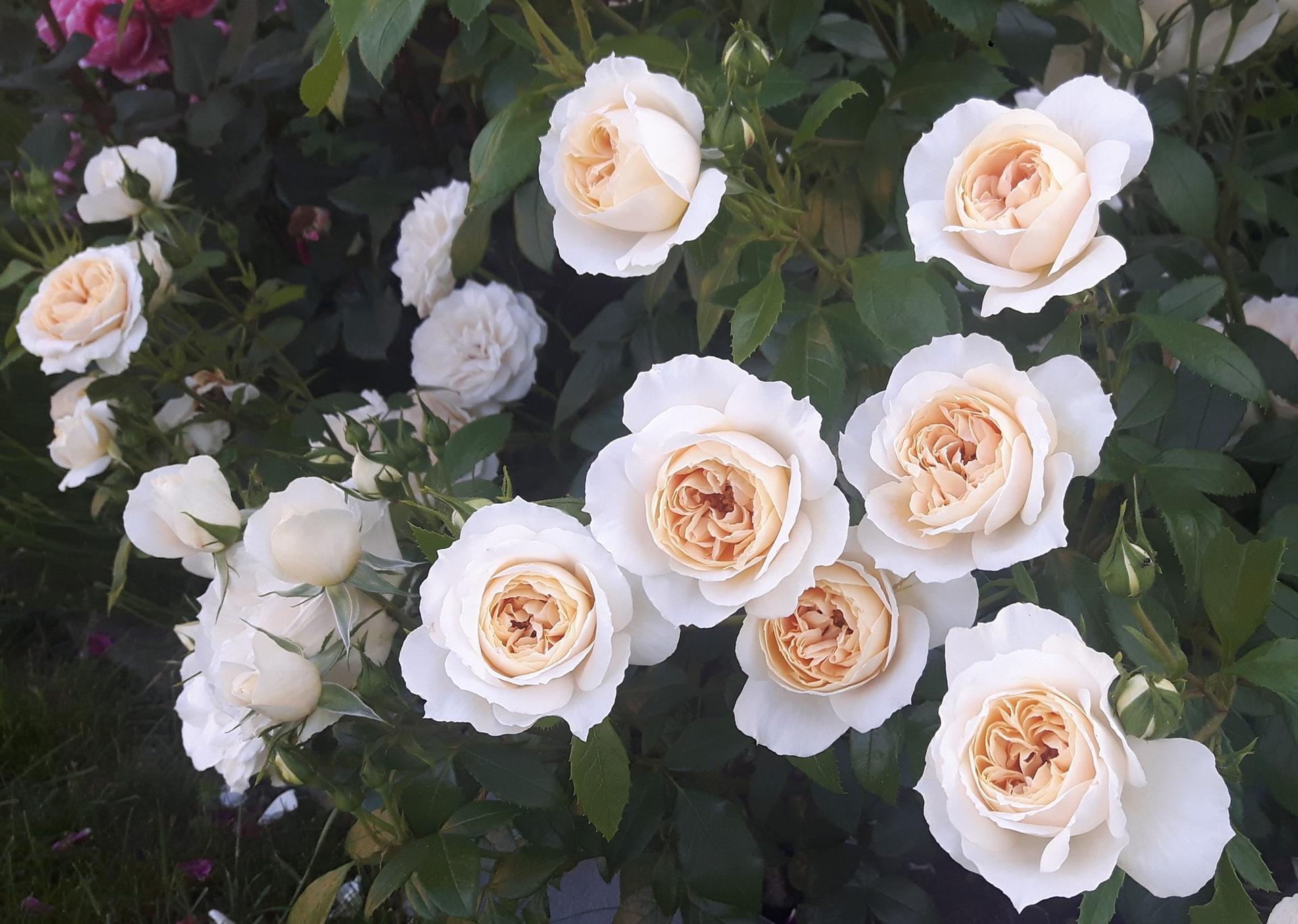 Ruže - Kordes ... a iné - Lions rose