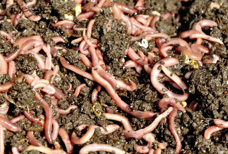 Kalifornske dažďovky Vermikompostovanie - Obrázok č. 2
